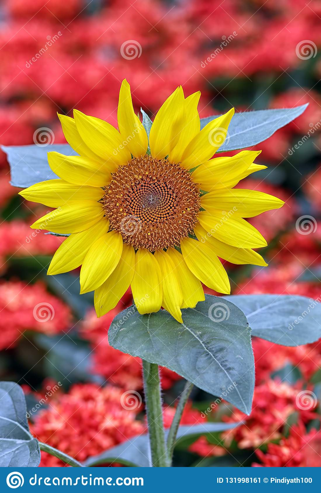 Cheerful tropical sunflower