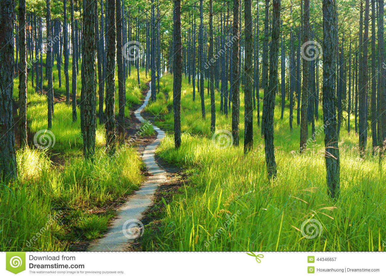 Beautiful Vietnam Landscape Dalat Pine Jungle Stock Photo