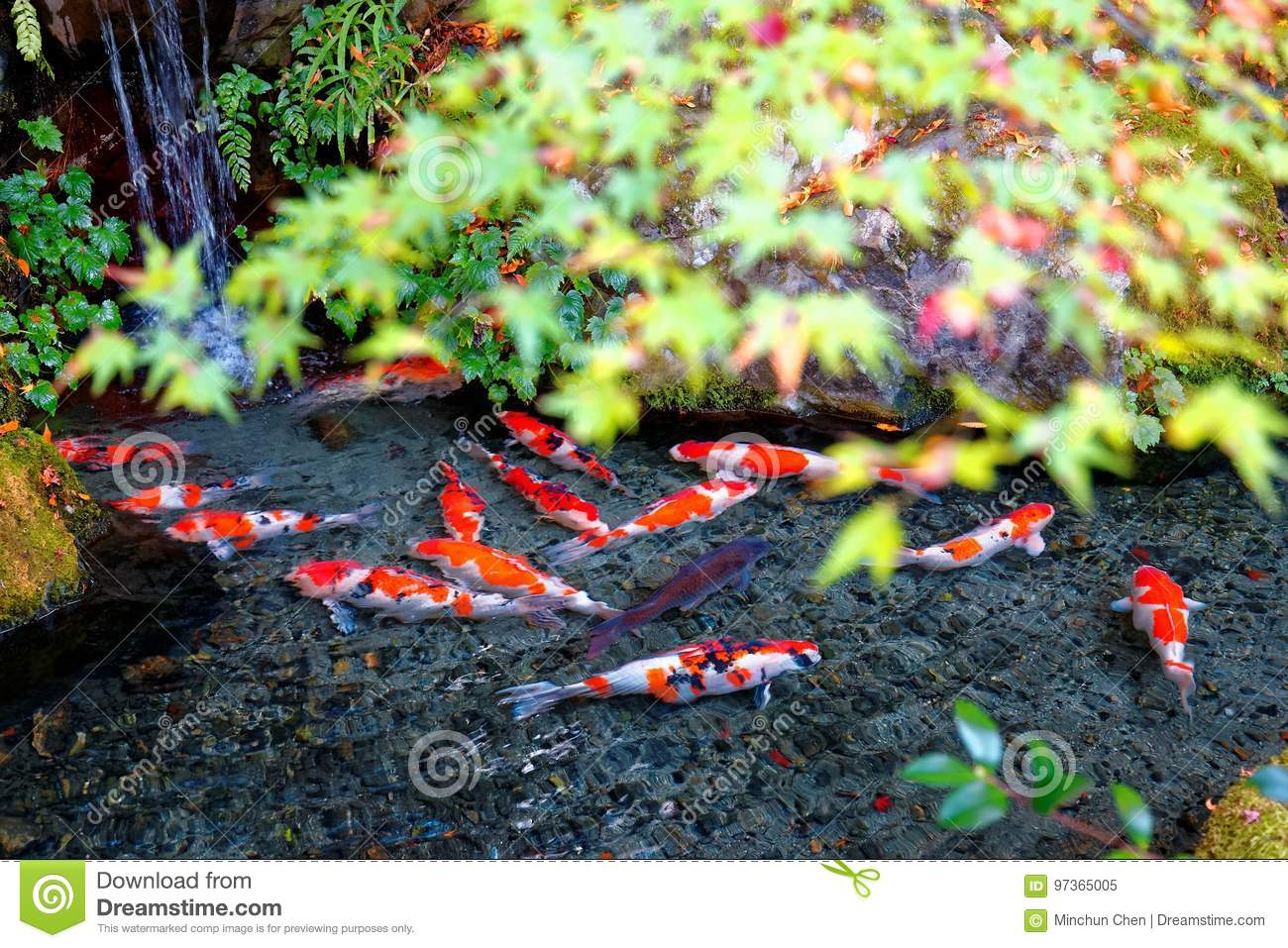 A Beautiful View Of Japanese Koi Carp Fish In A Lovely Pond ...