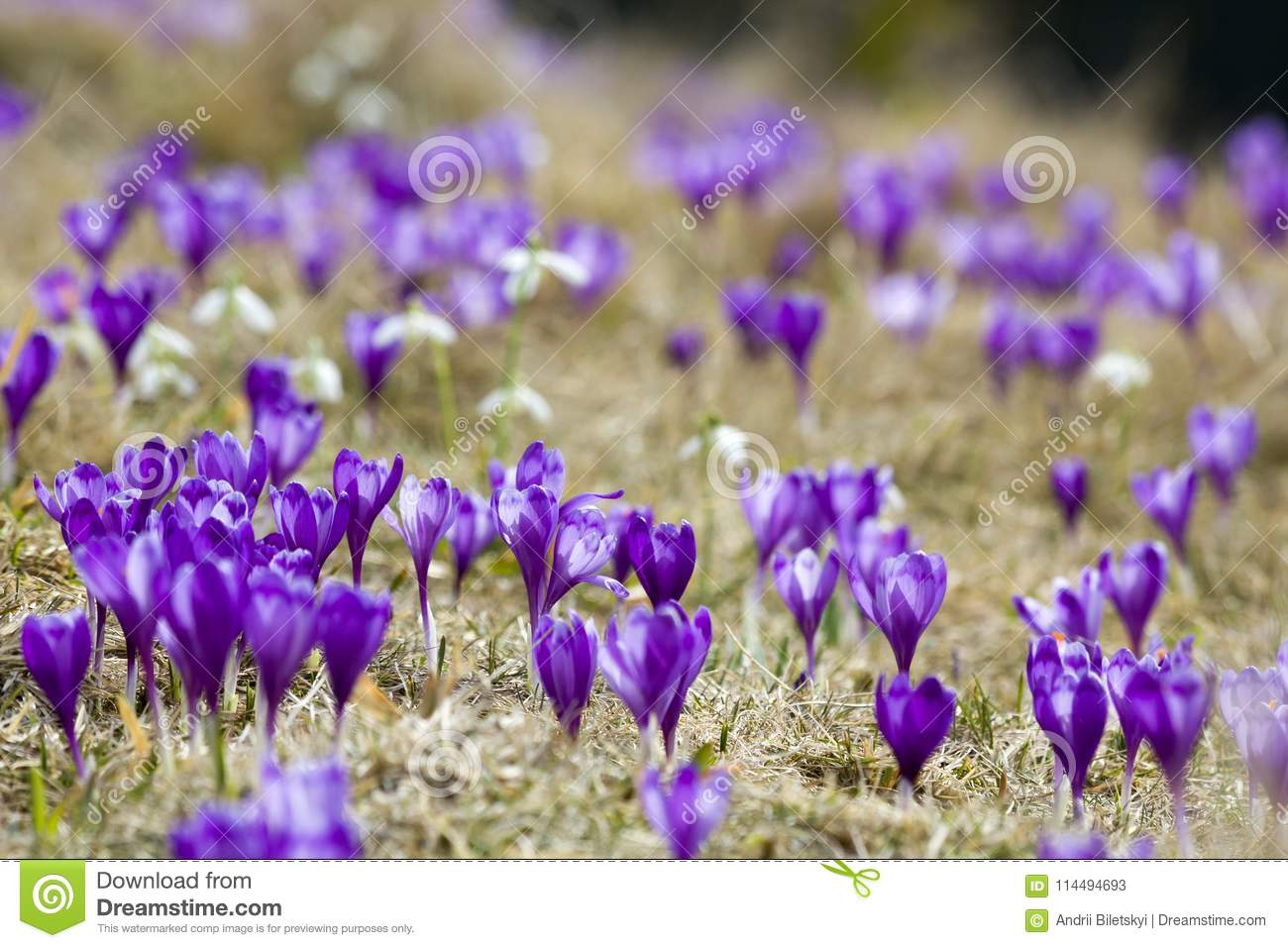 Beautiful view of marvelously blooming violet crocuses in the Carpathian mountains valley on bright spring morning. Ecology proble