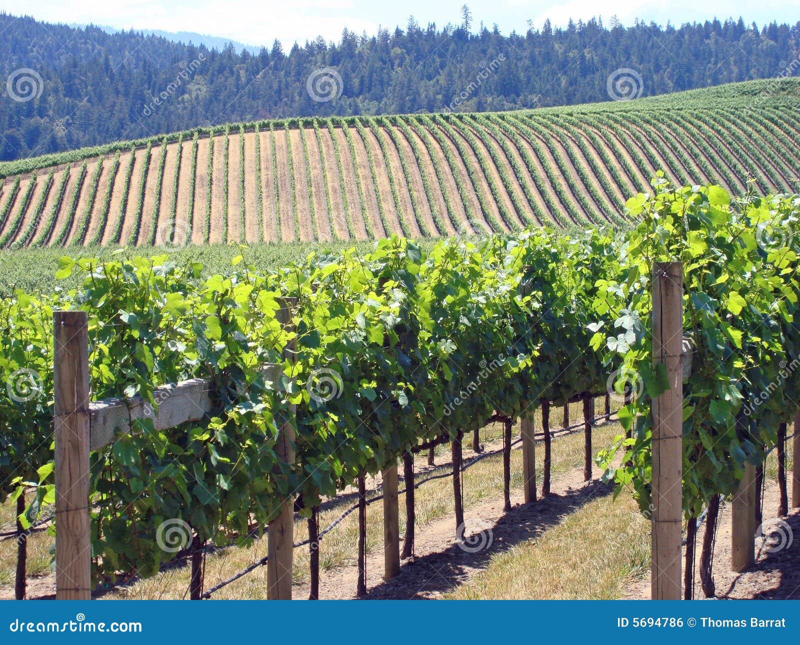 Beautiful Northern California Drop Top: Beautiful Vineyard In Northern California Royalty Free