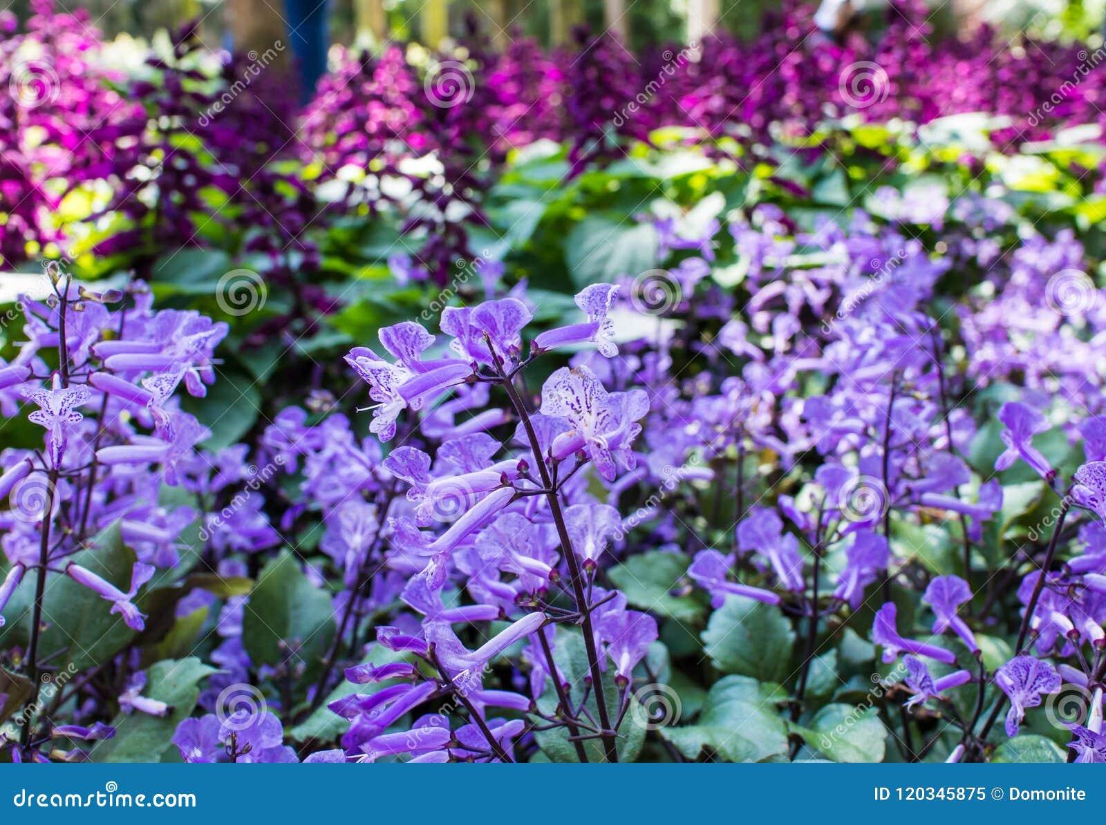 Violet Flowers In The Garden Stock Image Image Of Blue Crocus