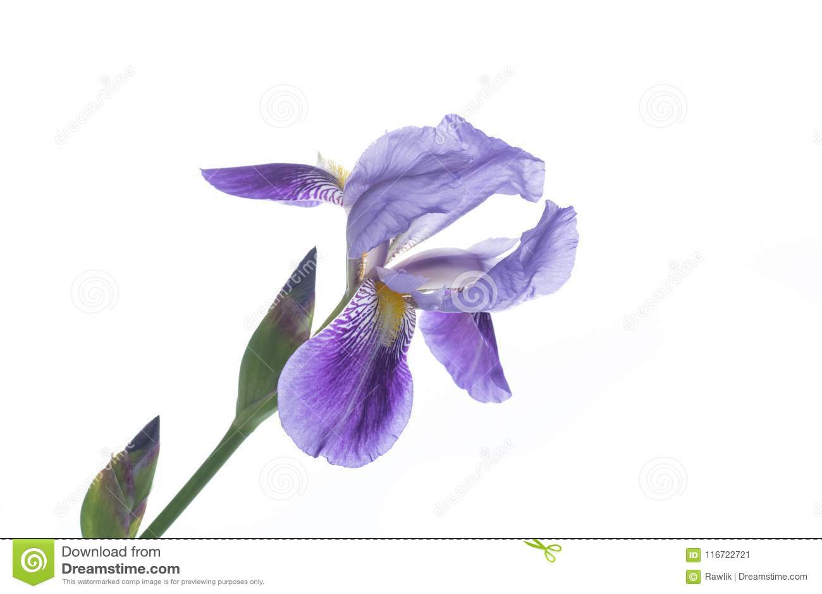 Beautiful Violet Iris Flower Stock Image Image Of Love Beauty