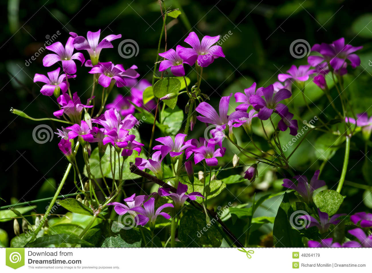 Beautiful Violet Wood Sorrel in the Forest.