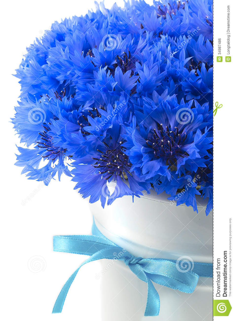 Beautiful Blue Eyes Cute Famous Girl Hair Listick: Beautiful Vivid Blue Flowers Of Cornflower. Royalty Free
