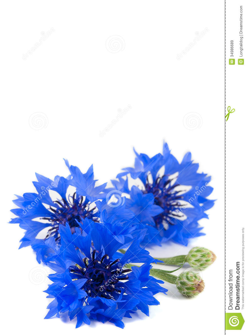 Beautiful Vivid Blue Flowers Of Cornflower Stock Image Image 34986689