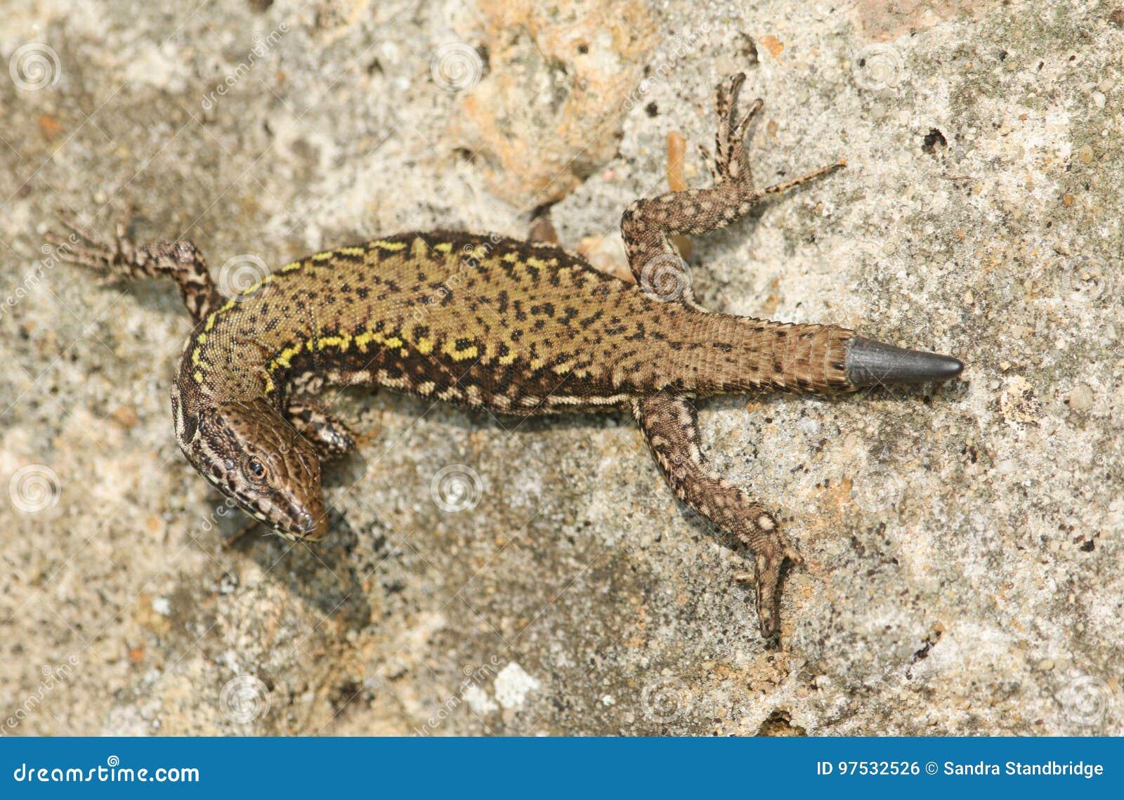 A beautiful Wall Lizard Podarcis muralis sunning itself on a stone wall.