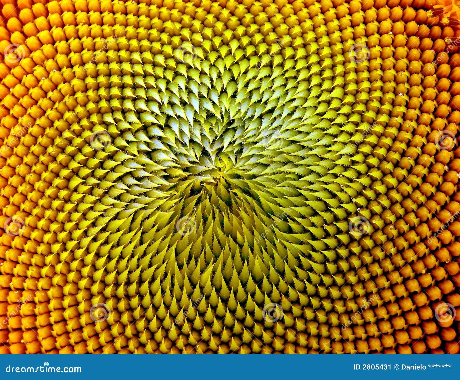 Beautiful warm sunflower