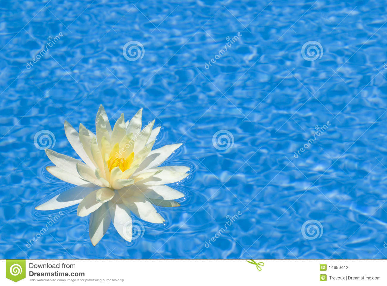 Beautiful Water Lily In A Pool Stock Photography Image