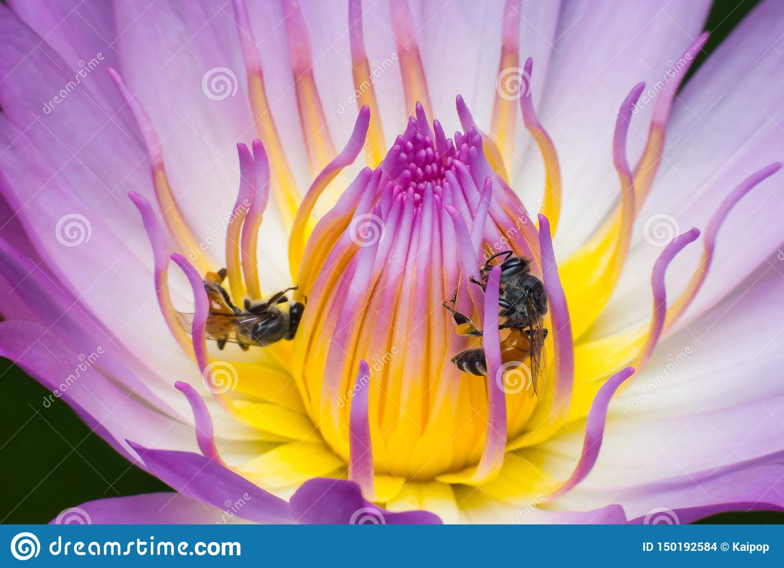 Beautiful waterlily or lotus flower with bee