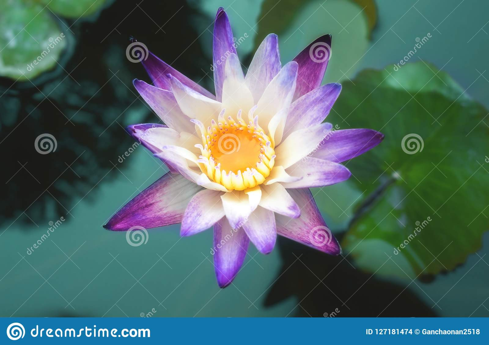 This beautiful waterlily or lotus flower is complimented by the rich this beautiful waterlily or lotus flower is complimented by the rich colors of the deep blue izmirmasajfo