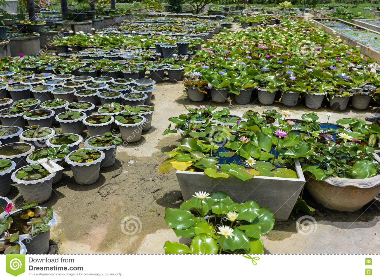 Beautiful Waterlily Or Lotus Flower On The Farm Thailand Stock