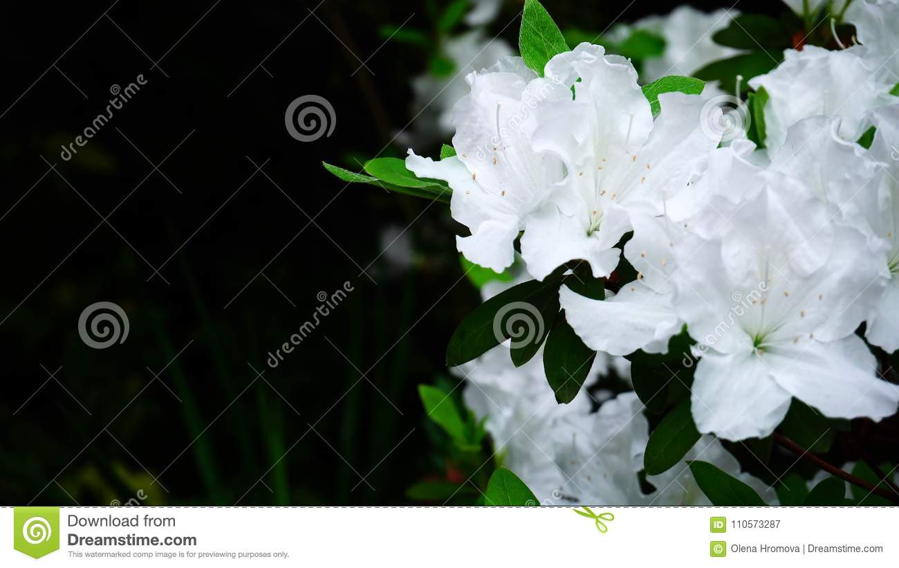 White Flower Shop Choice Image Fresh Lotus Flowers