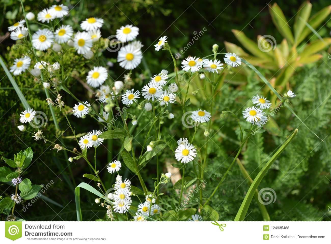 Beautiful Weightless Chamomile Flowers With A Yellow Center And
