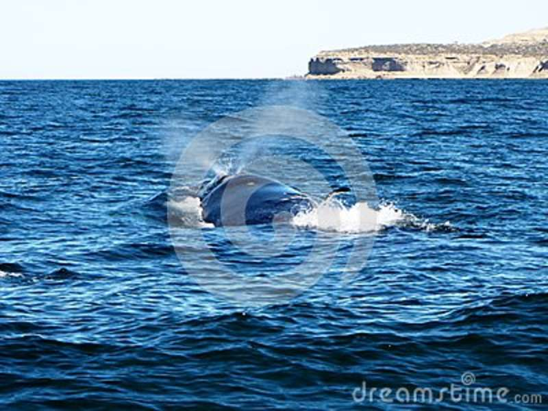 Beautiful Whale Sticking Its Head Out Of The Cold Waters Of Puerto