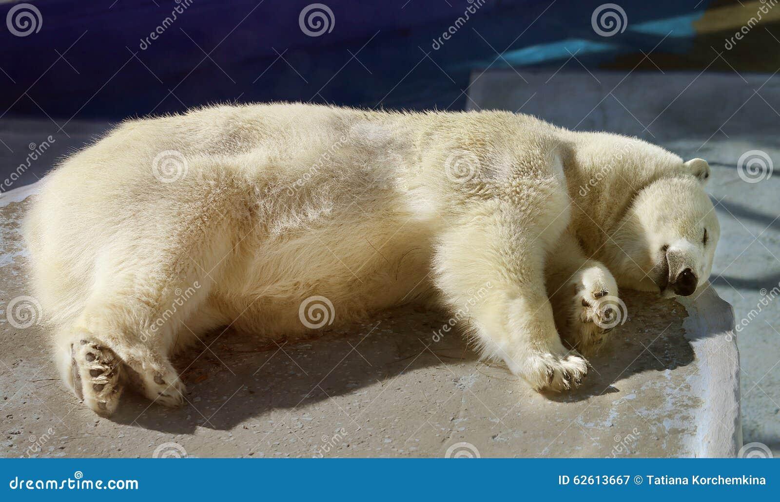 Beautiful white bear