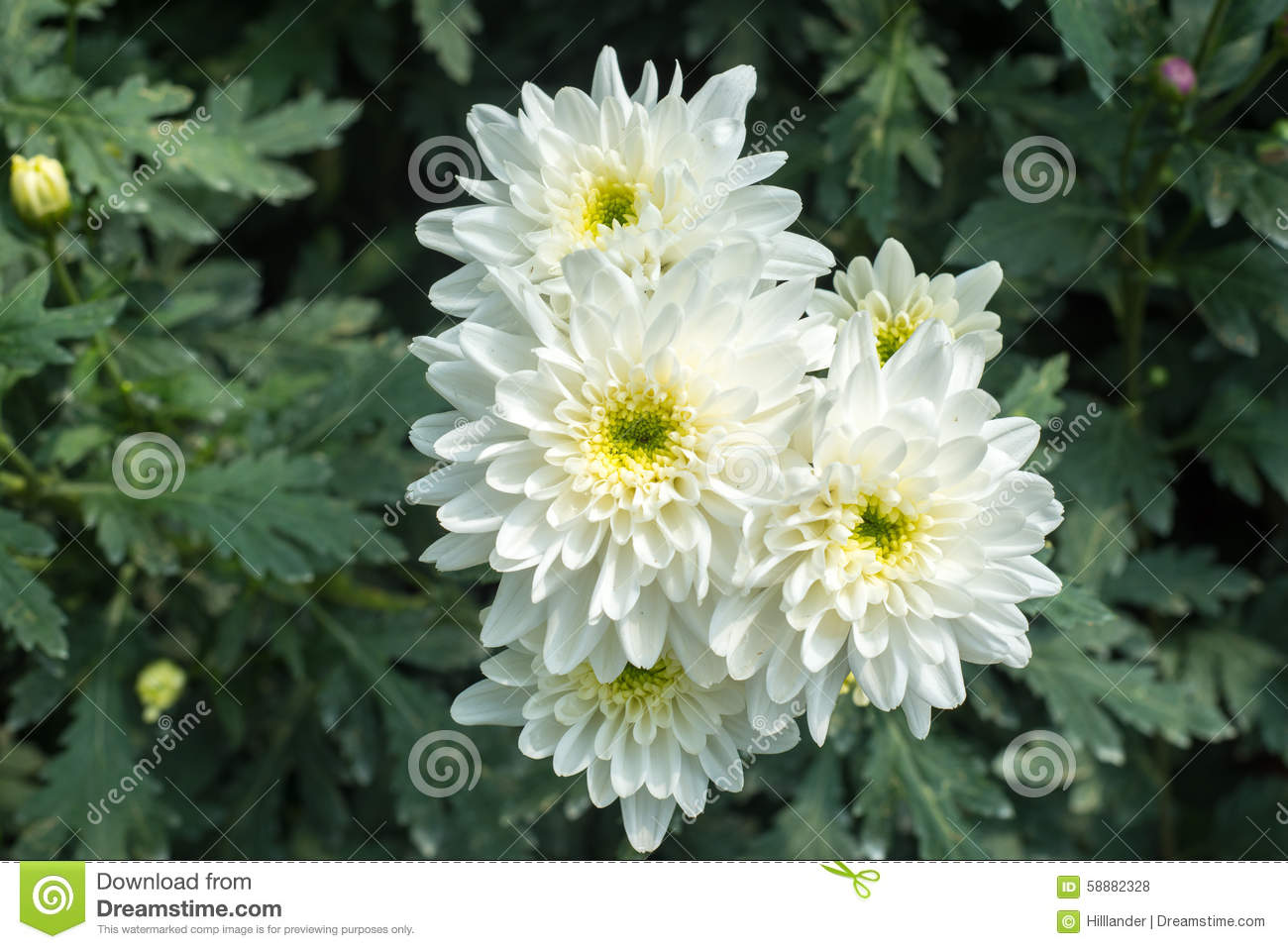 Beautiful white blossom Chrysanthemums inside green house, a popular plant of the daisy family