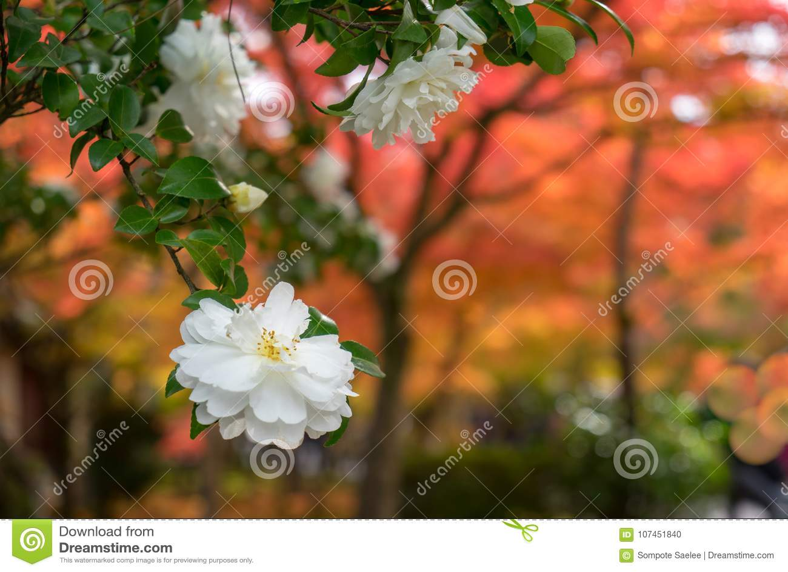White Japanese Camellia Flower With Soft Focus Orange Autumn Trees
