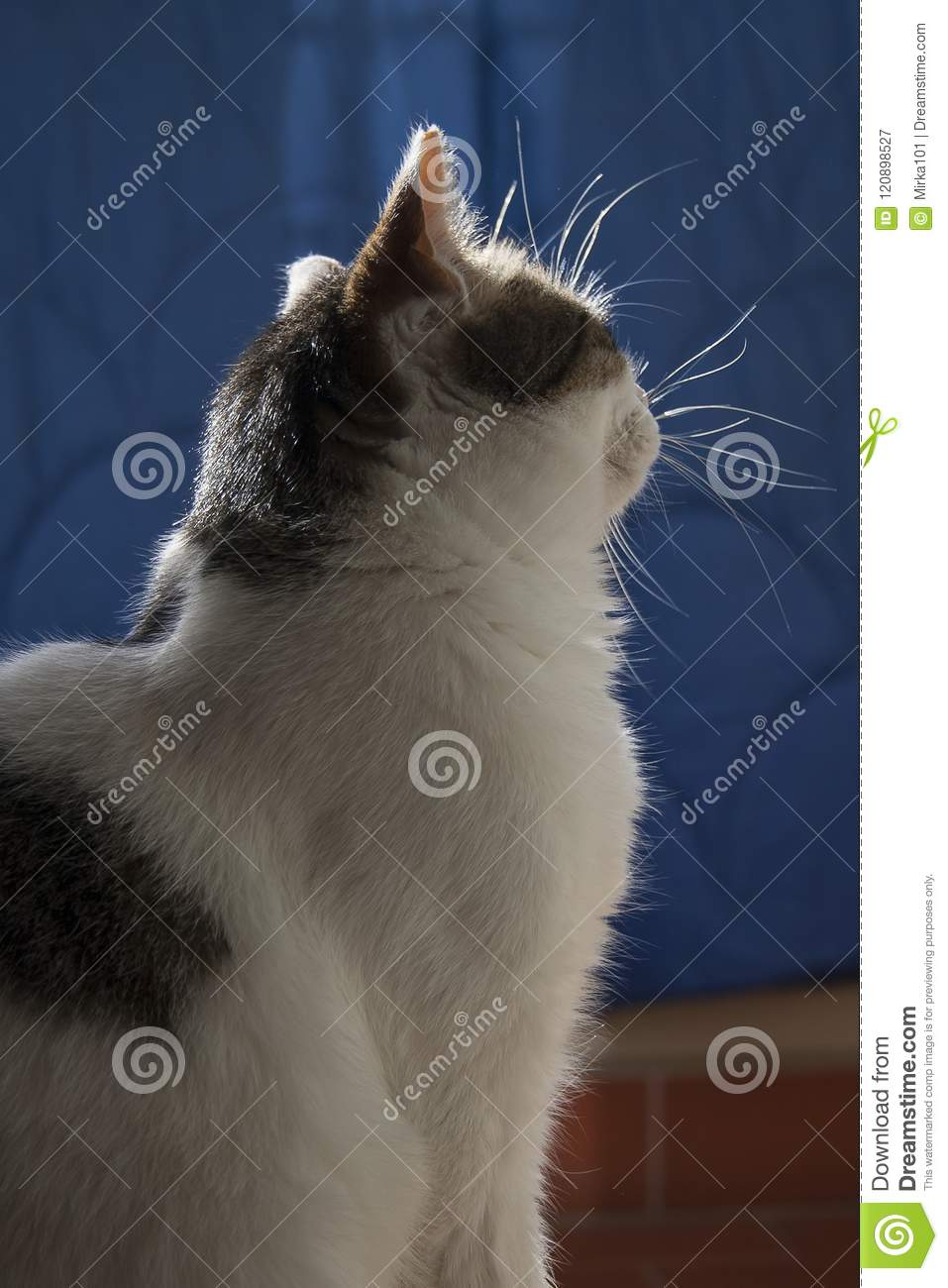 Cute White Cat Wallpaper On A Blue Background Stock Image Image