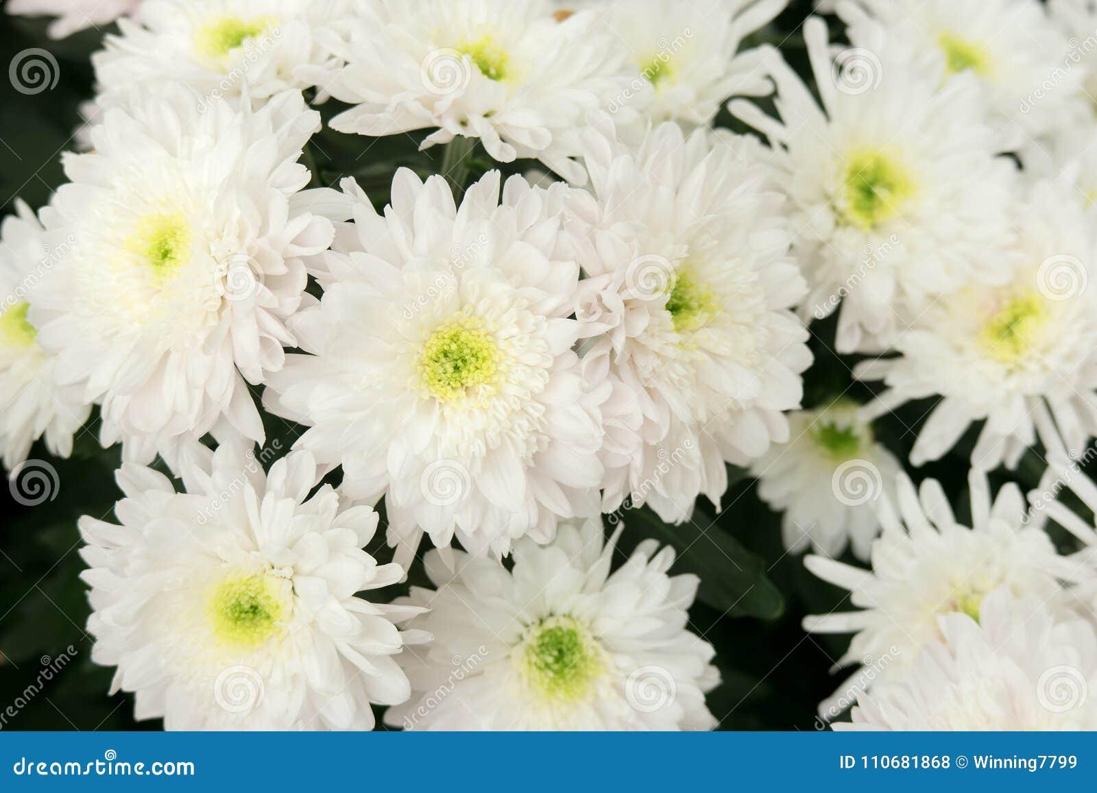 Beautiful White Chrysanthemum Dendranthemum Grandifflora Flower