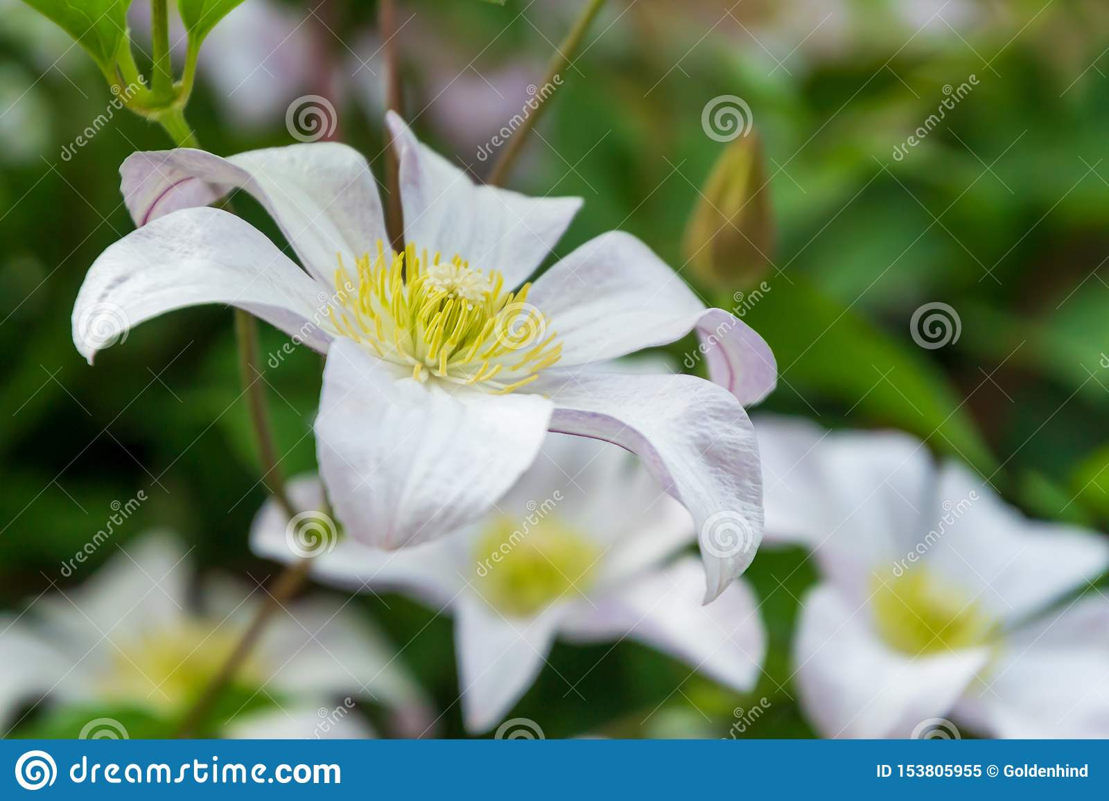 Beautiful white clematis blossom. Background with white flowers