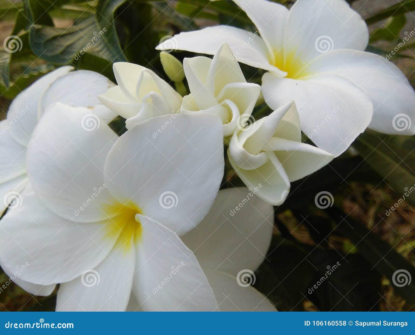 Beautiful White Color Flowers Of Sri Lankankan Photos Stock Photo