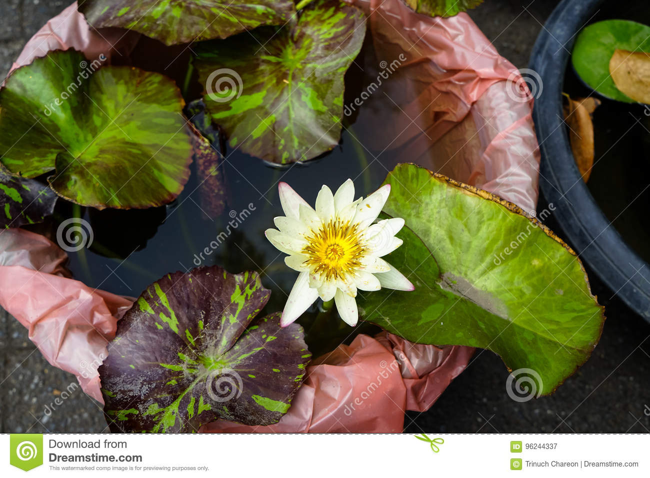 Beautiful White Color Water Lilies Or Nymphaea Blooming Among Leaves