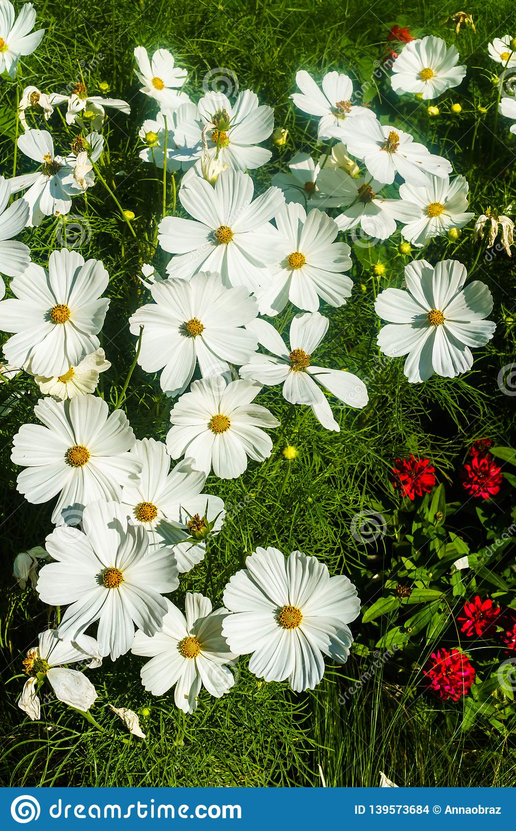 Beautiful White Cosmos Flower In The Garden For A Background Stock