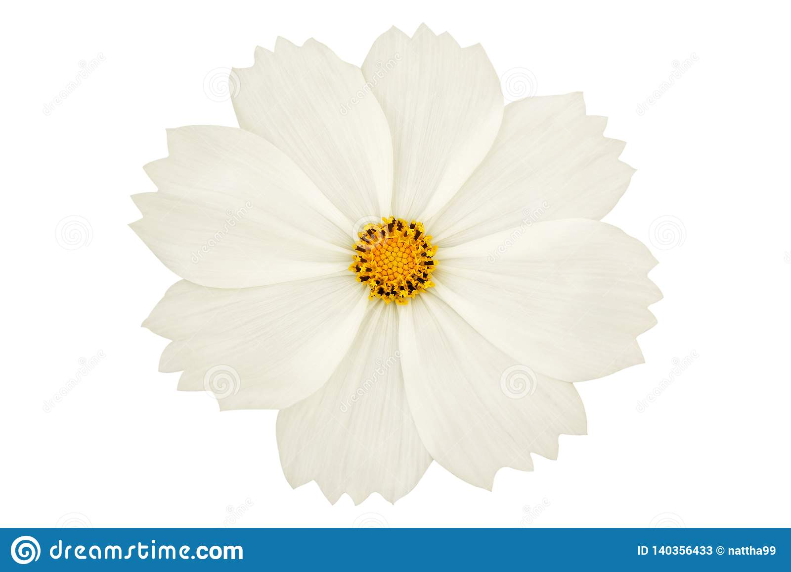 Beautiful white cosmos flower isolated on white background