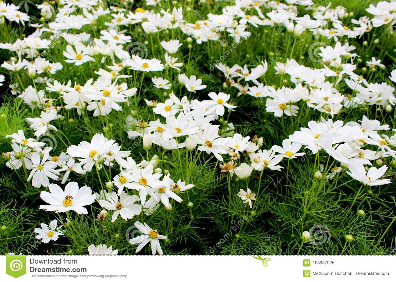 Beautiful White Cosmos Flowers In Garden Stock Image Image Of