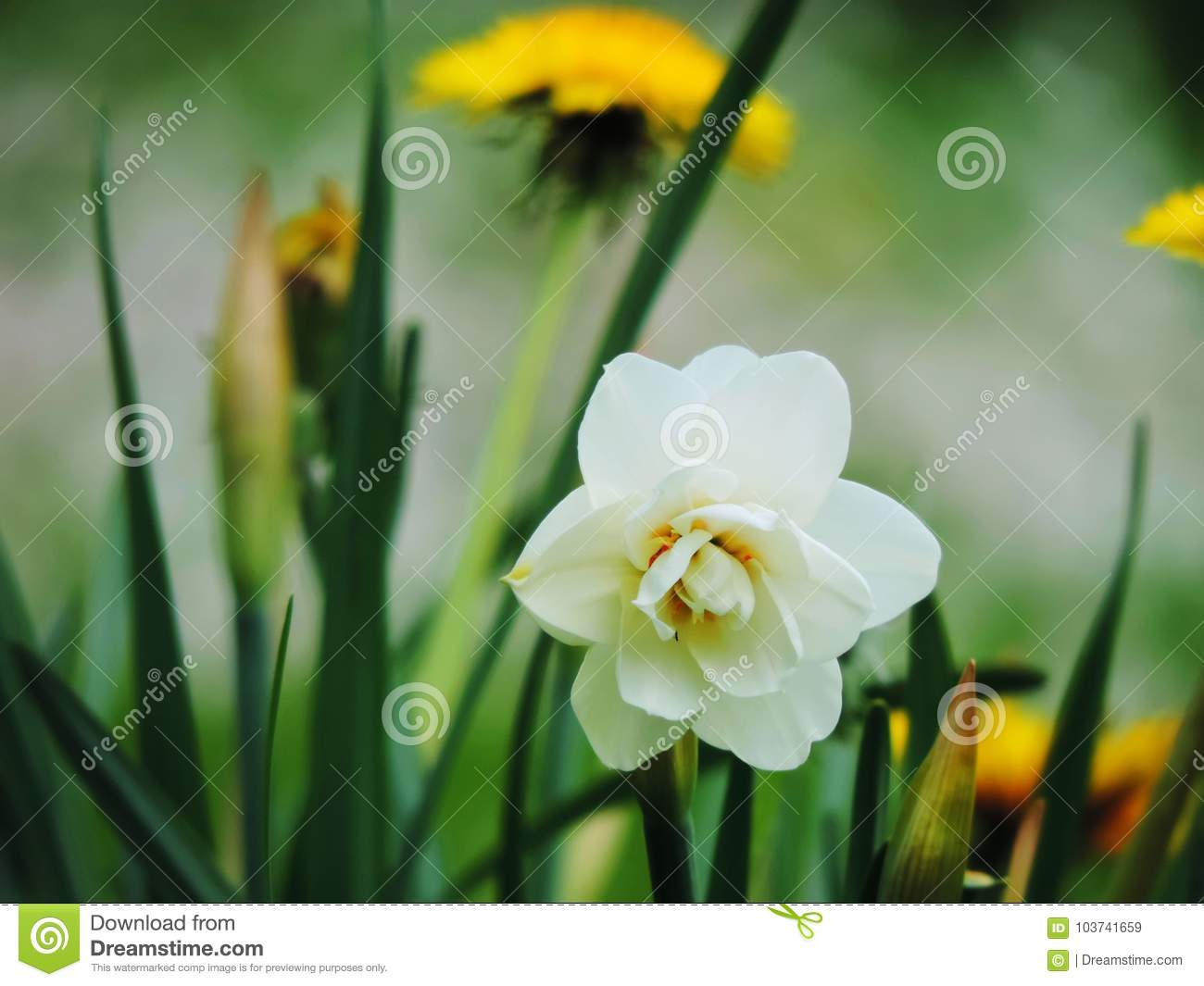 White daffodil narcissus and dandelion flowers