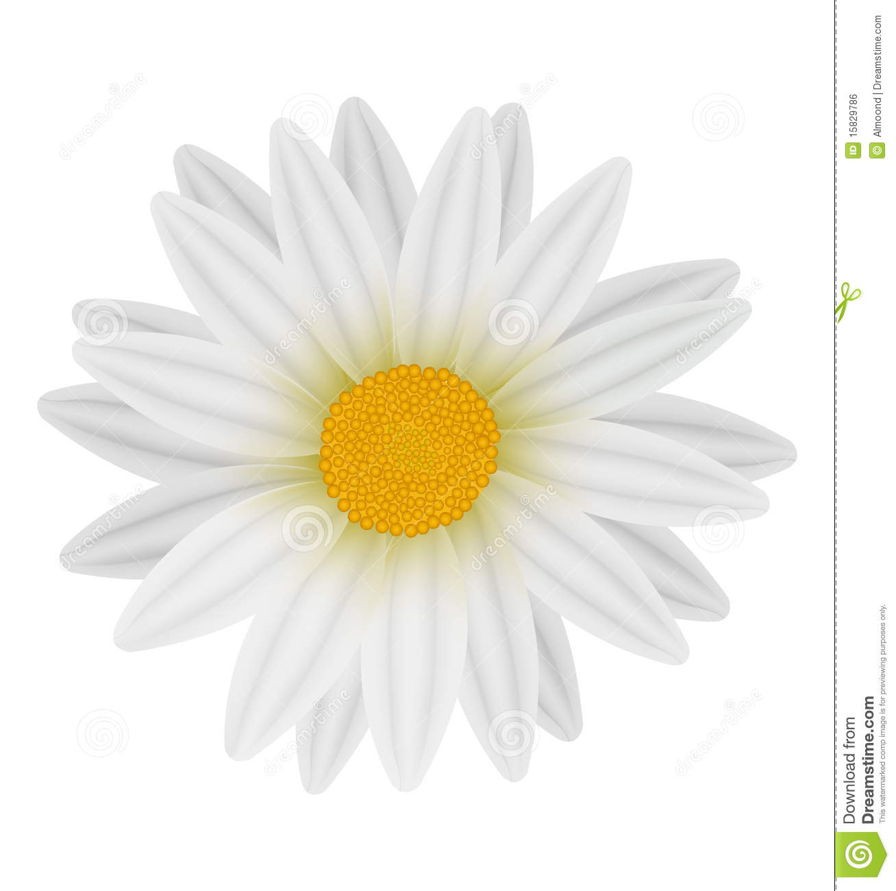 white daisy royalty free stock photography  image, Beautiful flower