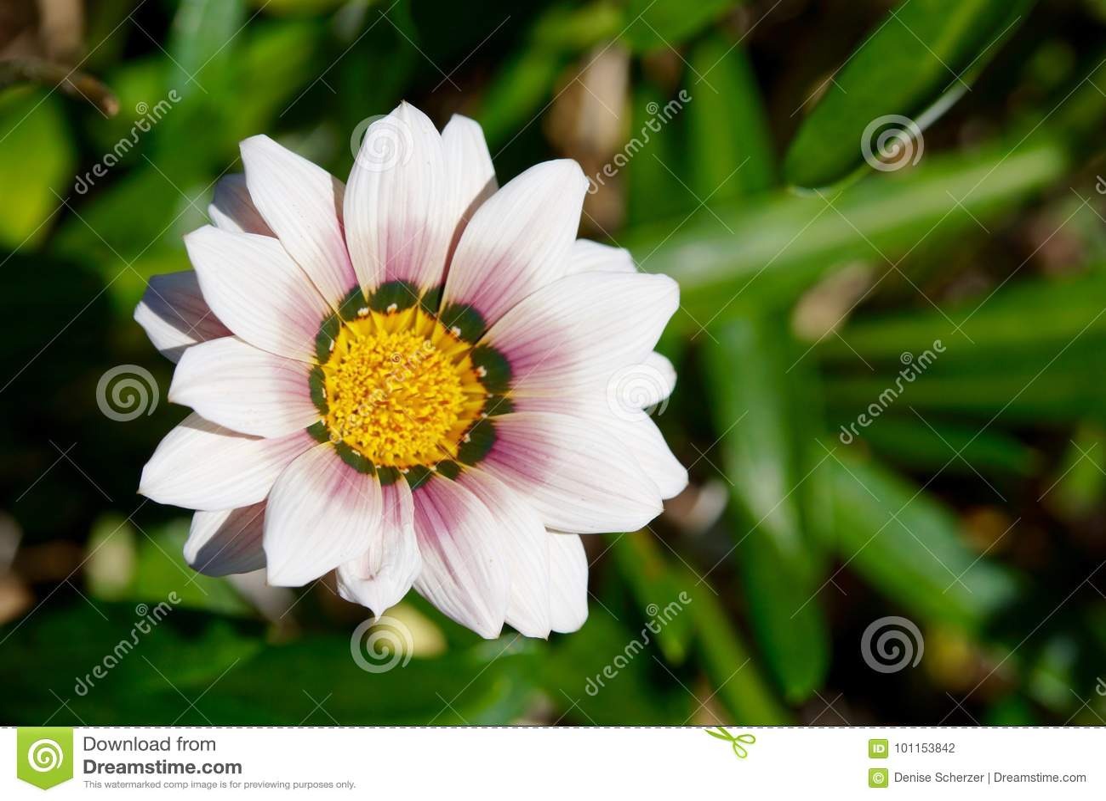 Beautiful white daisy flower closeup stock photo image of flower download beautiful white daisy flower closeup stock photo image of flower pretty 101153842 mightylinksfo