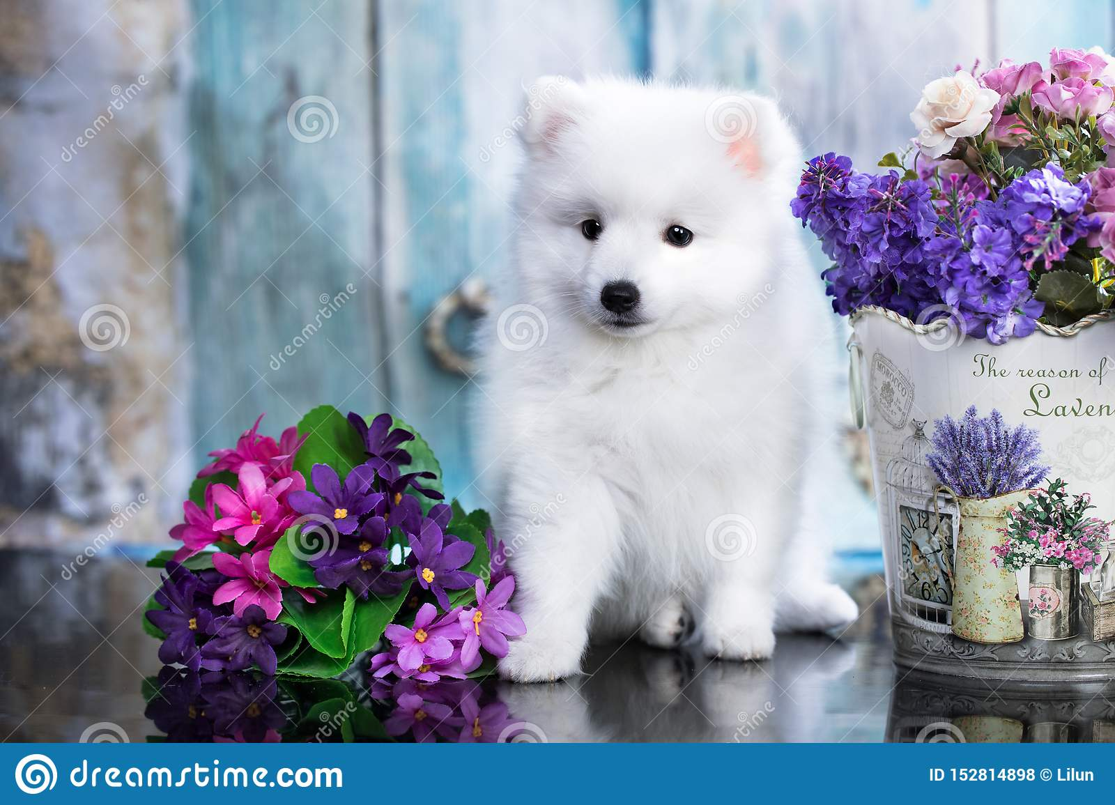Japanese Spitz Dog Cute Pet Happy Smile In Flowers Stock Photo Image Of Grass Dedication 152814898