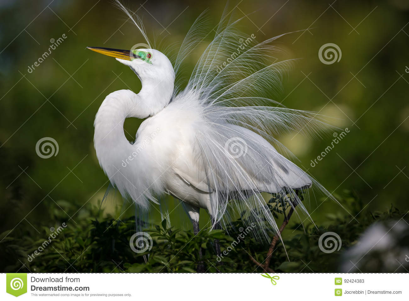 Beautiful white egret in breeding plumage fluffs up his feathers on display