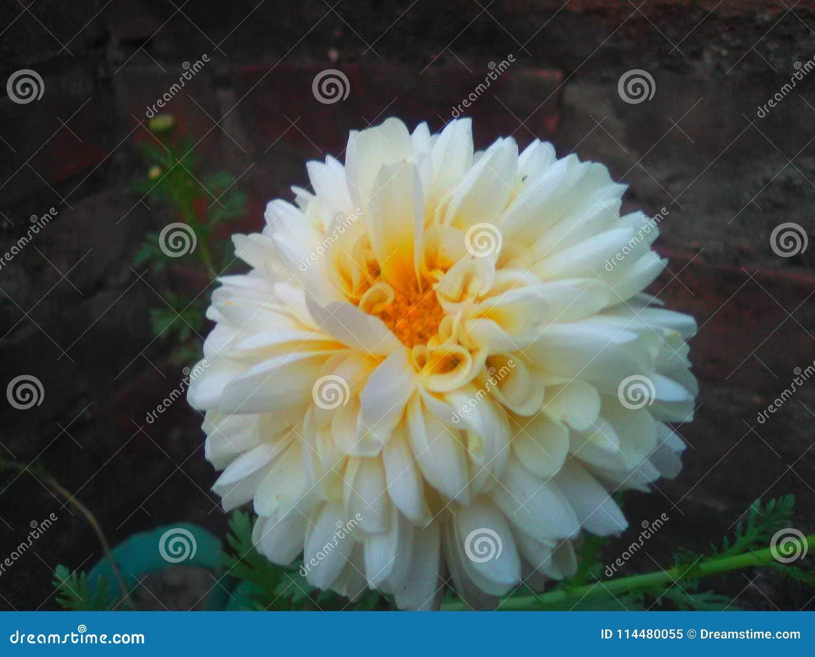 A Beautiful White Flower Chandramallika Stock Image Image Of