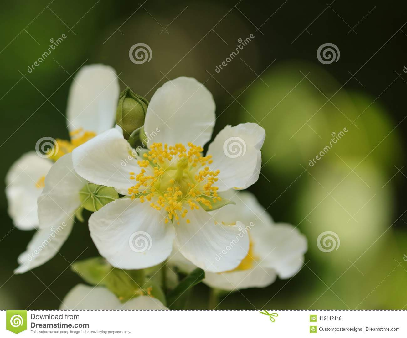 Download A White Daisy Flower On A Blurred Peach Background. Stock Photo - Image of close, floral: 119112148