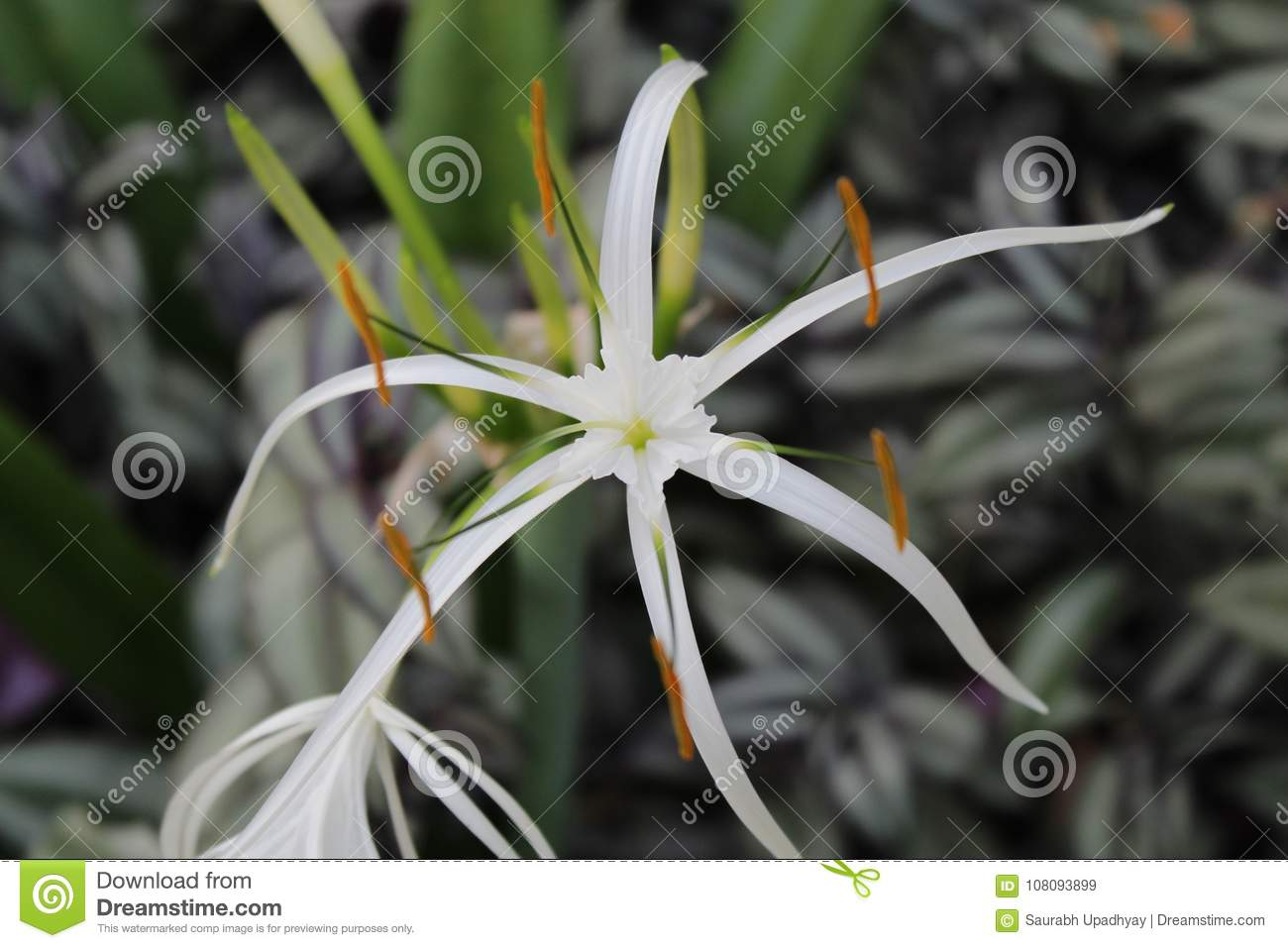 Beautiful white flower in garden with leaf stock image image of beautiful white flower in garden with leaf izmirmasajfo
