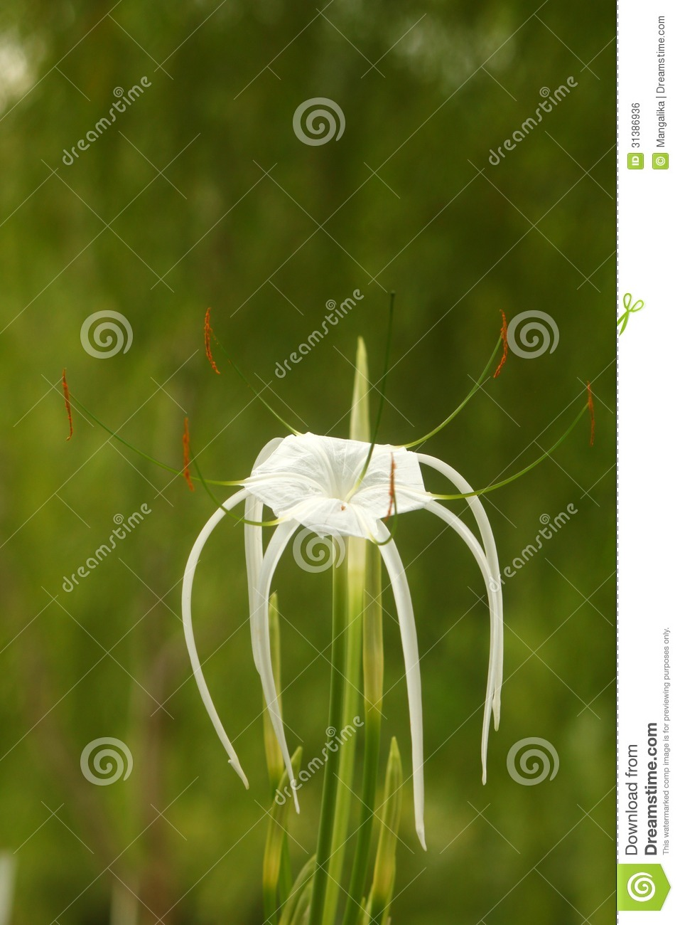 Beautiful Pale Green Bedrooms: Beautiful White Flower With Long Stigma Royalty Free Stock