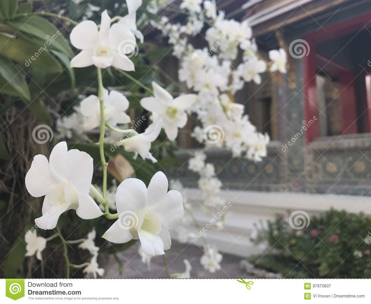 Beautiful White Flower In The Temple Stock Image Image Of Tree