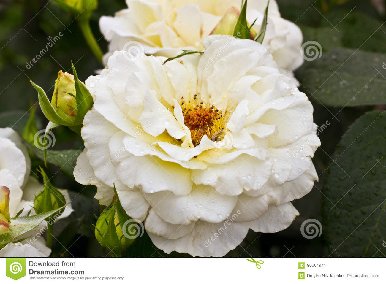 Beautiful white flower. White rose bush. Horizontal summer flowers art background. Space in background for copy, text, your words