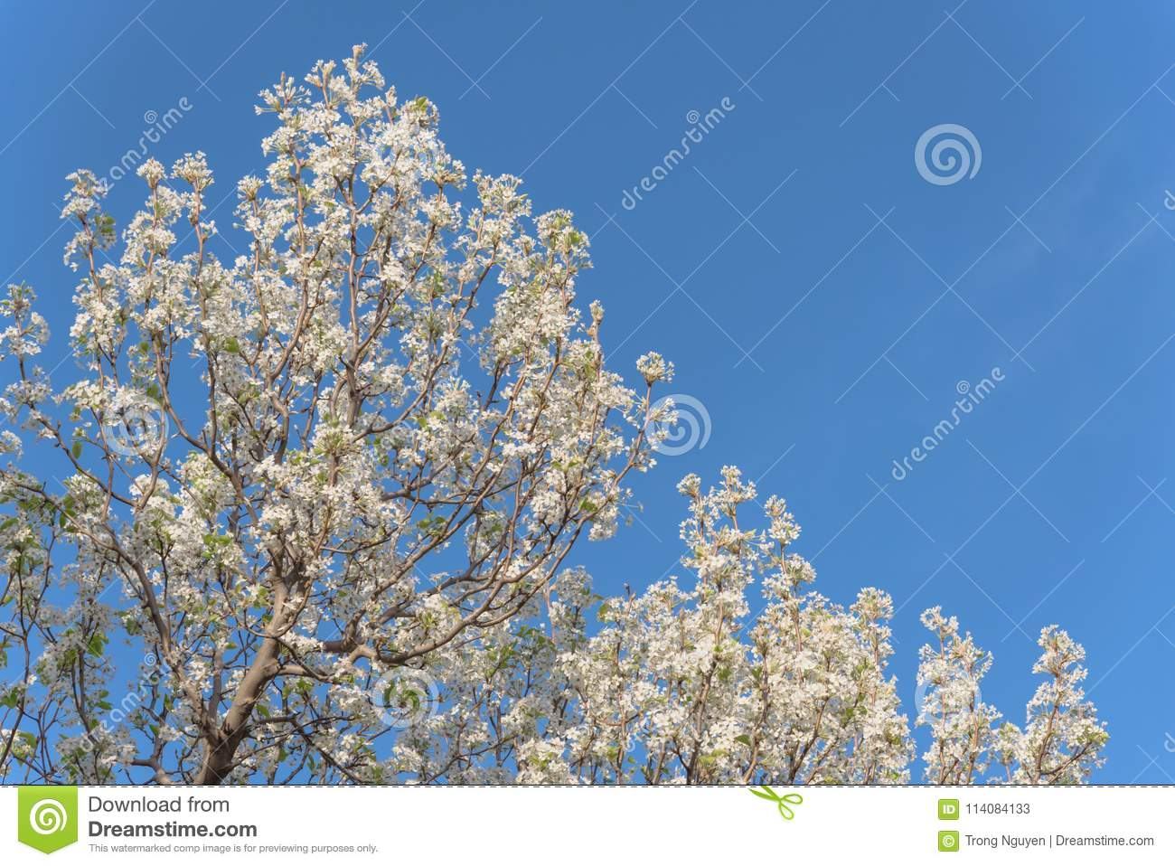 Flowering Bradford Pear Tree Blossom In Spring At Irving Texas Usa