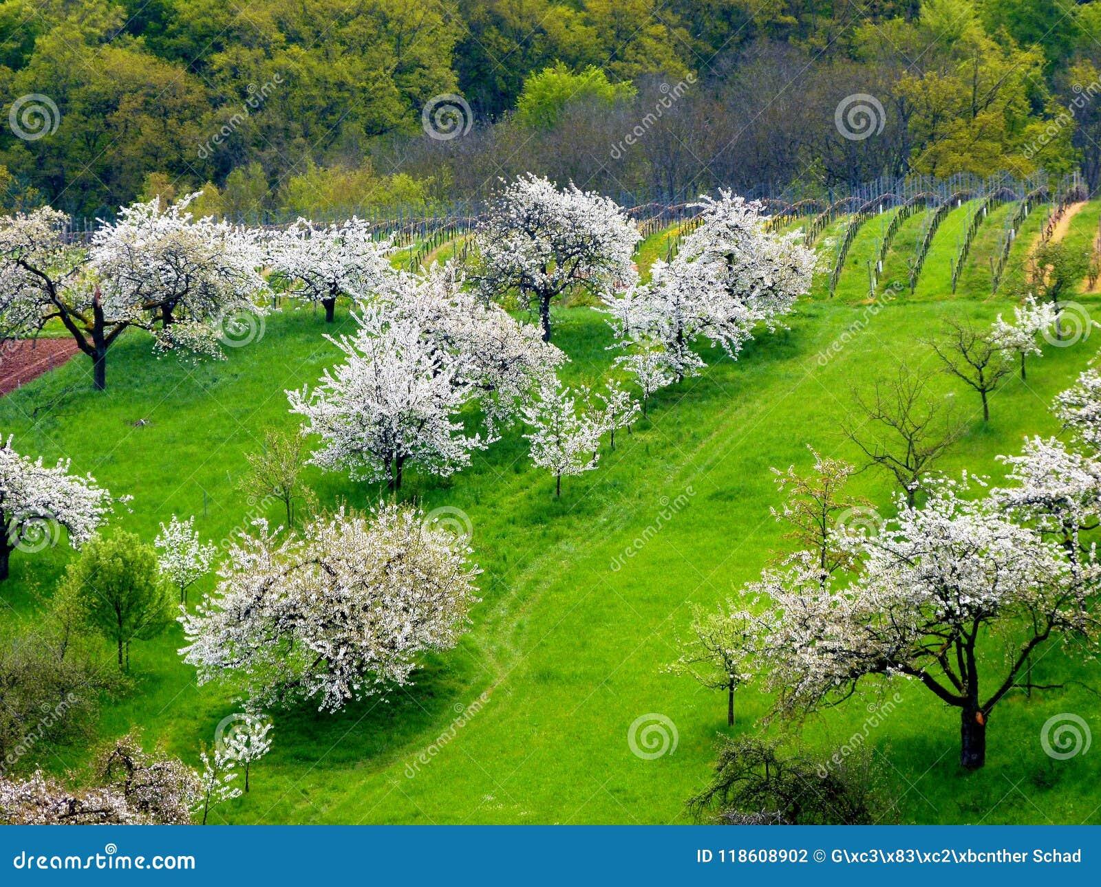 Fruit tree meadow with white flowering cherry trees stock photo download fruit tree meadow with white flowering cherry trees stock photo image of tree mightylinksfo