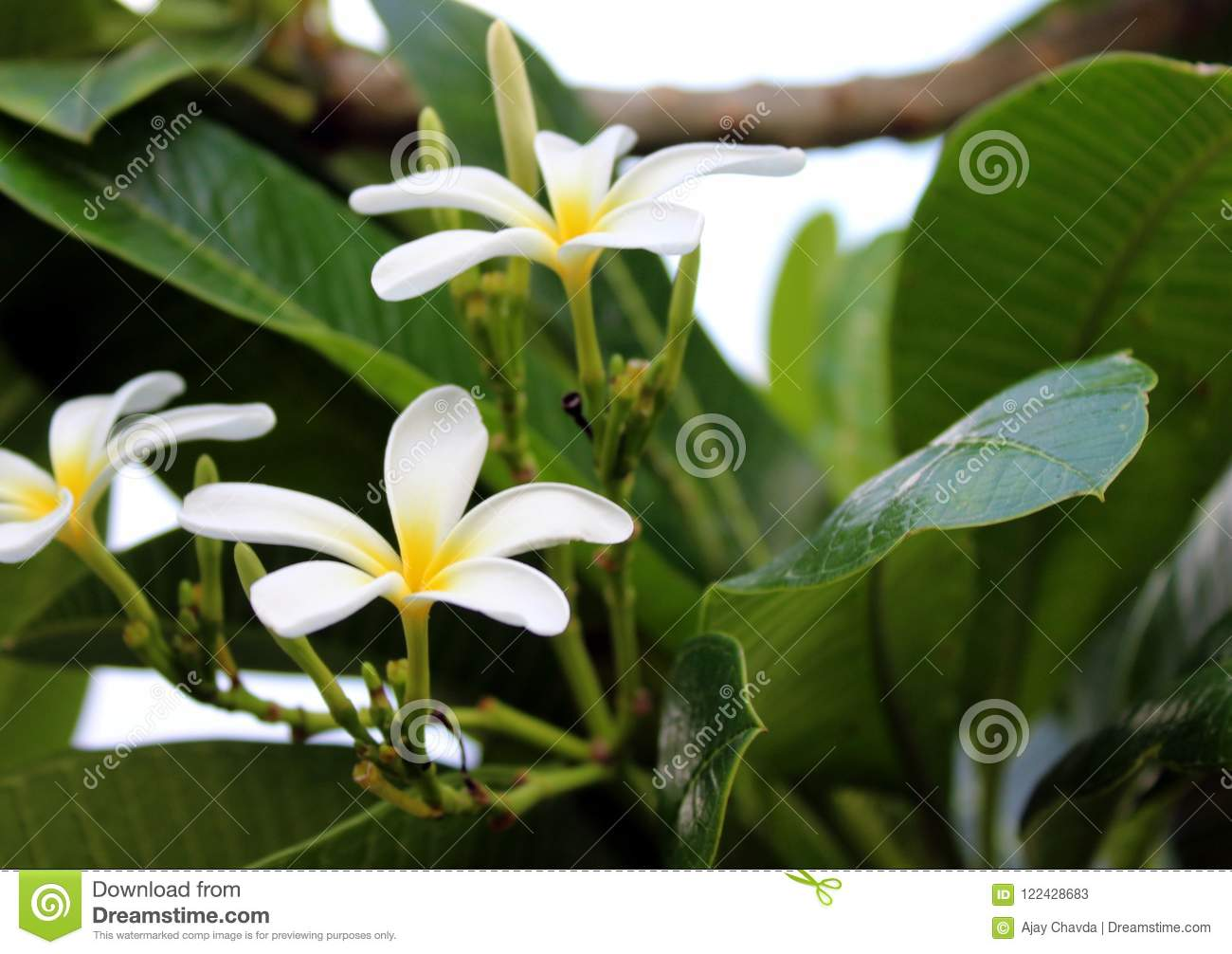 Beautiful White Flowers And Big Green Leaf Stock Image Image Of