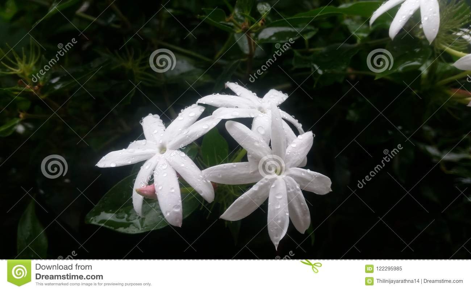 Beautiful White Flowers Bloom At Home Garden In Sri Lanka Stock
