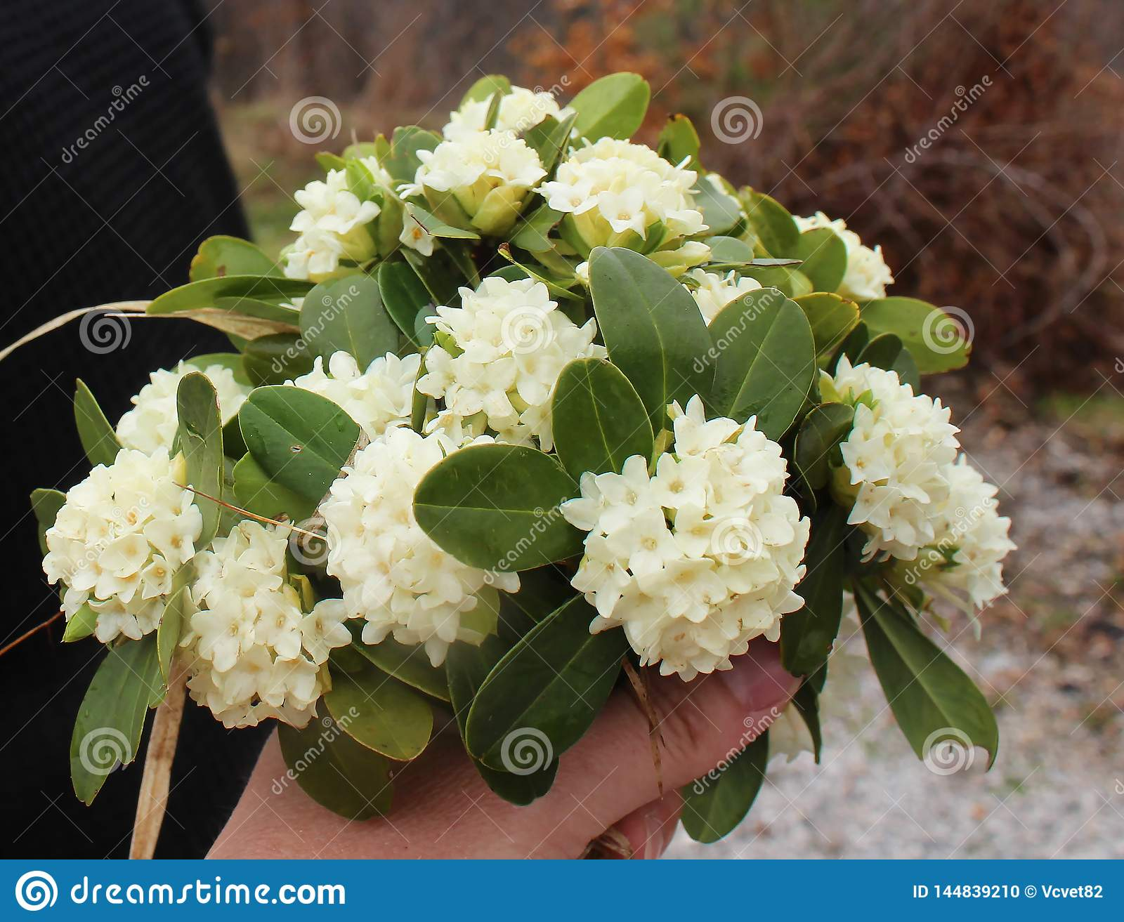 Beautiful white flowers of Daphne blagayana in blossom, wild from the forest