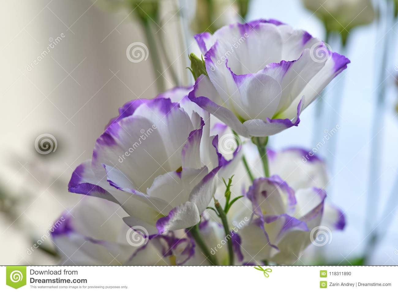 Beautiful White Flowers With A Delicate Purple Border Stock Photo