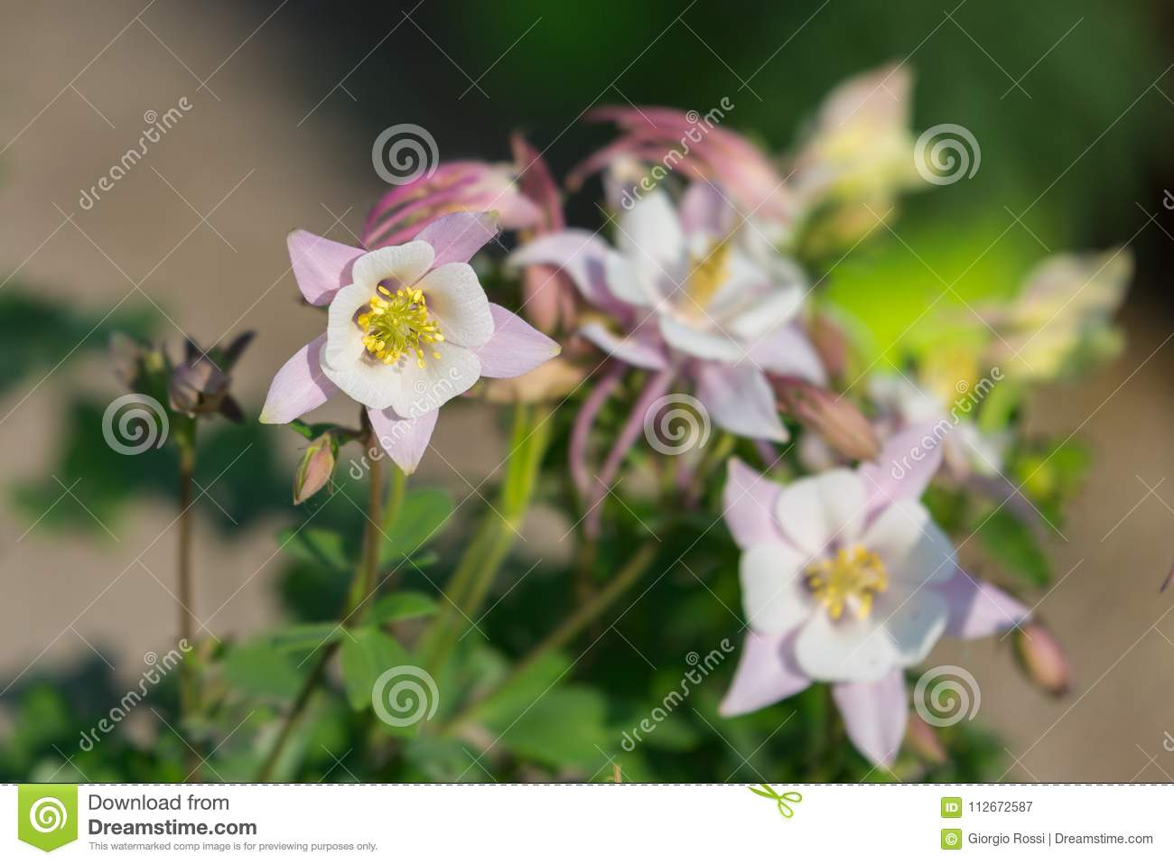 Beautiful White Flowers With Four Petals In A Garden Stock Image