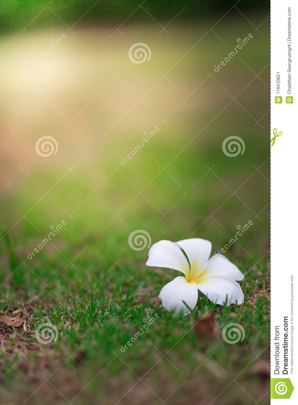 Beautiful White Flowers On Lawn Floor On A Blurred In Sunlight B