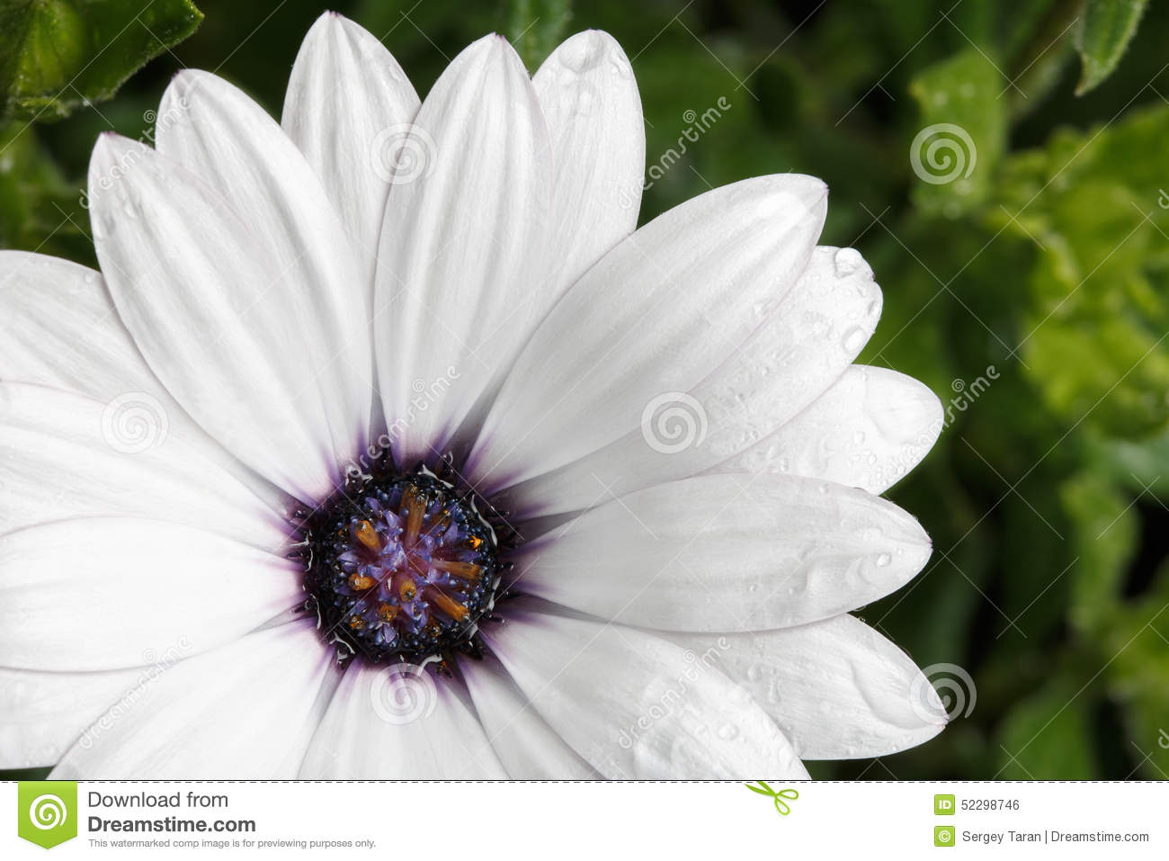 Beautiful White Flowers With Raindrops Stock Photo Image Of Leaf